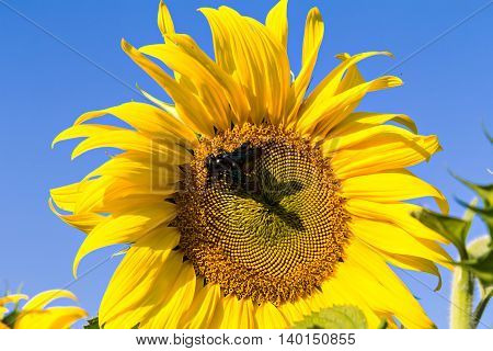 A Bumblebee On Sunflower And Nice Sky