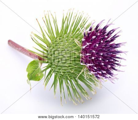 Prickly head of burdock flower on a white background.