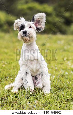 Black and White Schnauzer / Dalmatian dog sitting down
