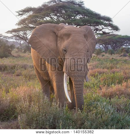 Elephant in Amboseli national park in Kenya.