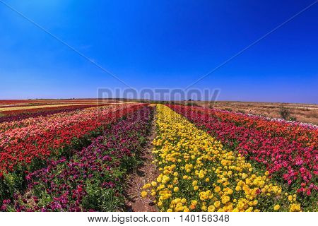 Elegant multi-color rural fields with flowers. Buttercups grow bright colored stripes
