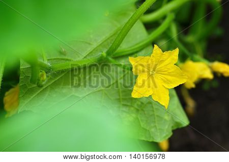 Yellow cucumber flower in a greenhouse.Close-up of ripening cucumber in the vegetable garden,