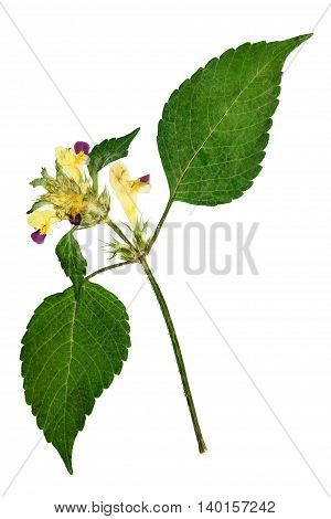 Pressed and dried flowers galeopsis speciosa on stem with green leaves. Isolated on white background. For use in scrapbooking floristry ( oshibana ) or herbarium.