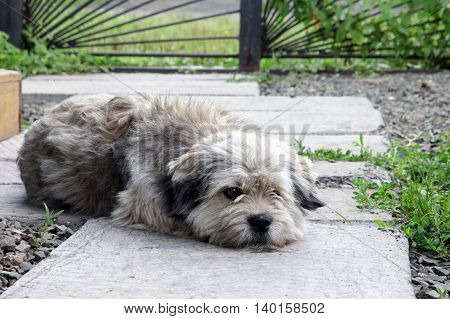 Mongrel dog lies in the courtyard garden and sad. Pets