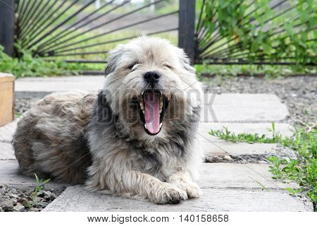 Mongrel dog lies smiles and yawns in the yard. Pets