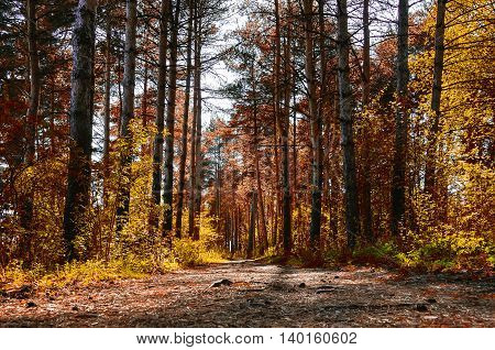 Forest sunny autumn landscape - row of autumn yellowed trees with autumn fallen leaves in the forest in sunny autumn weather picturesque landscape of sunny autumn forest nature. Soft filter applied