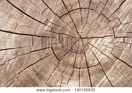 Wood circle texture slice background. Tree rings.