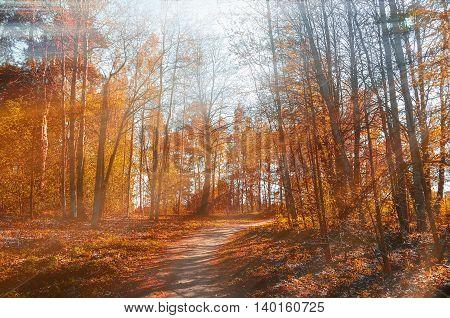 Forest sunny autumn landscape -row of autumn yellowed trees under autumn sunlight. Autumn red trees in the forest in sunny autumn weather colored landscape sunny autumn nature. Soft focus applied