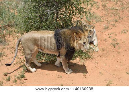 Lions In Bushveld, Namibia