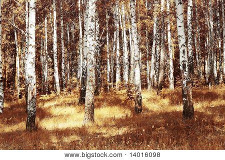 Abedules otoñales con hierba seca amarilla