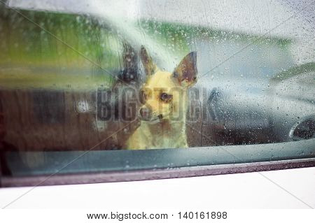 chihuahua in the car. little dog looking in the car window in the rain