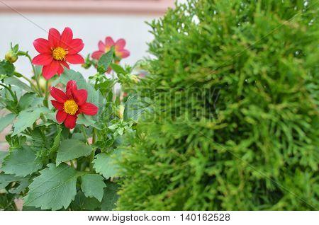 Red Dahlias In Garden