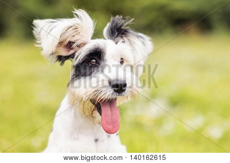 Black and White Schnauzer / Dalmatian dog sitting down with the tongue out