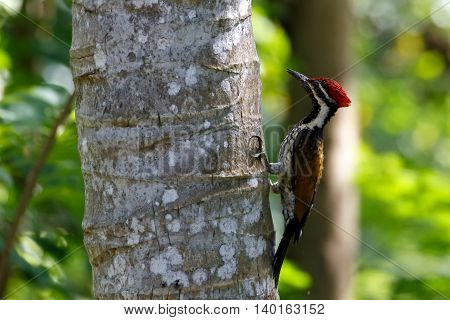 Black-rumped flameback or lesser golden-backed woodpecker on a coconut tree in Kerala, India