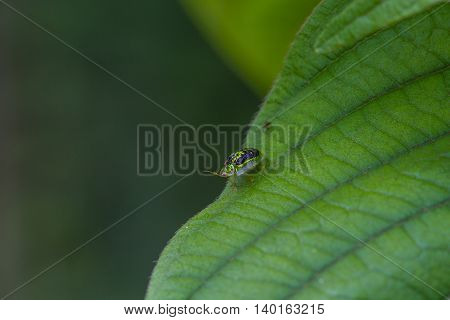 Insect Golden Tortoise Beetles