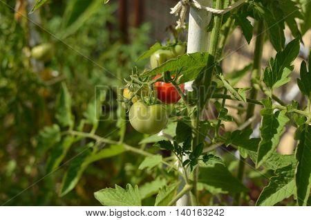 Half Ripe Tomatoes In A Private Garden