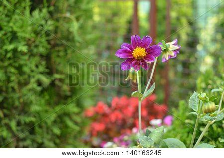 Violet Dahlia In A Garden