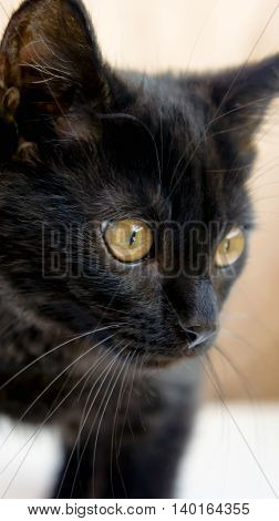 small black fluffy white kitten on a brown background, thoroughbred, three months, with yellow bright big eyes, hunt, tense, watching carefully,