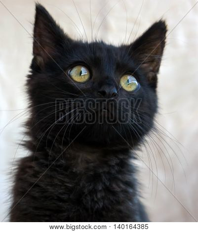 small black fluffy white kitten on a brown background, thoroughbred, three months, with the bright yellow big eyes sits and looks carefully,