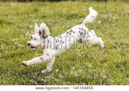 Black and White Schnauzer / Dalmatian dog running