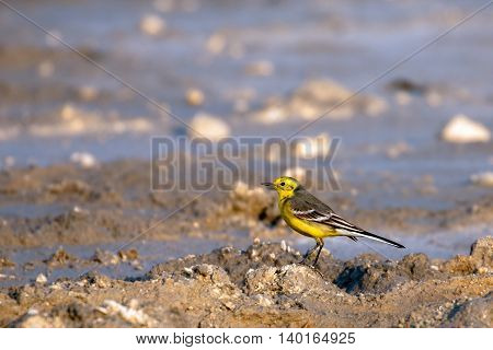 Yellow Wagtail or Motacilla Flava in a waterlogged area in Bahrain