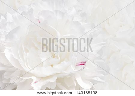 white peony texture background. Soft Focus Selective Focus