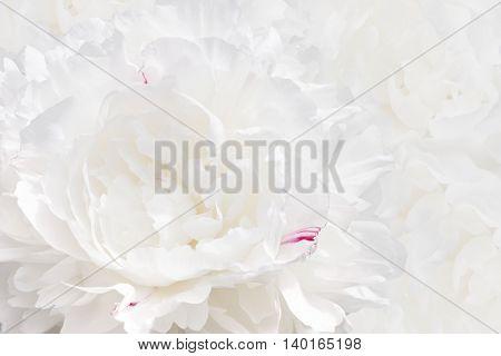 white peony texture background. Soft Focus Selective Focus