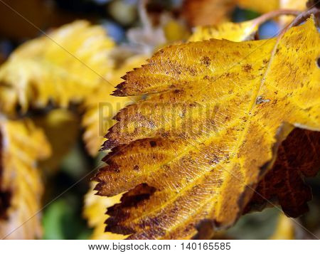 Autumn came. Leaves on a tree of steel of yellow color
