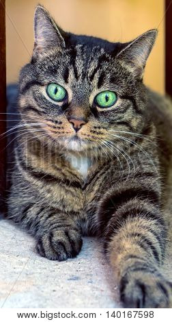 adult cat lying on the asphalt under the chair, striped, mixed, with big bright green eyes