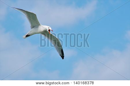 seagull flying with open beak against the blue sky