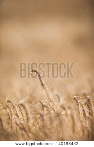 Ripe barley (lat. Hordeum) on a field lit with warm morning sunshine (shallow DOF)
