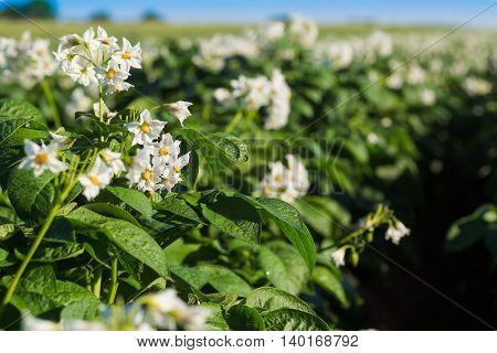 Potato blossoms in a farm field in rural Prince Edward Island, Canada.