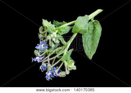Medicinal plant borage (Borago officinalis) also known as a starflower isolated on a black background. Used in herbal medicine healthy eating oil from the seeds is done for cosmetic purposes