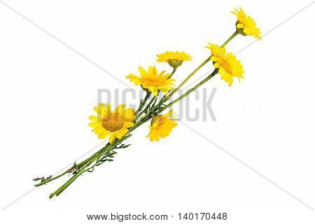 Cota tinctoria synonym Anthemis tinctoria (golden marguerite yellow chamomile oxeye chamomile) isolated on a white background. Used in herbal medicine and for the production of yellow dyes