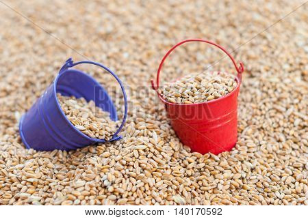 Two colored buckets with the harvest of wheat close-up.