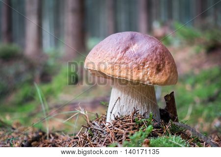 Detail of amazing mushroom boletus edulis in spruce forest with blurred background