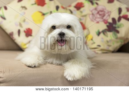 Adorable maltese dog sitting on a couch with colorful pillows on the background