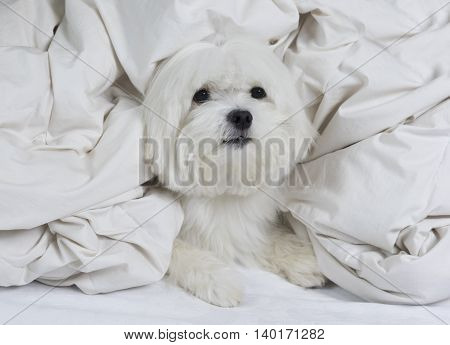 Angel dog. Adorable maltese dog wrapped on a white blanket
