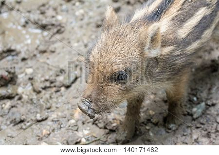 Portrait of a tiny piglet in a wildpark