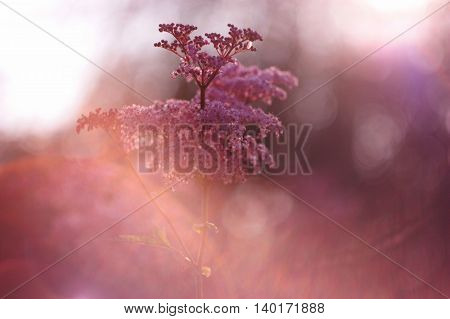 Beauty pink flower background with soft focus. Pink spiraea fluffy flowers.