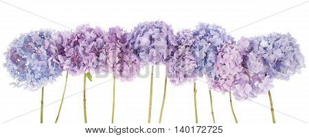 Purple flowers hydrangea on white background. Clipping path inside