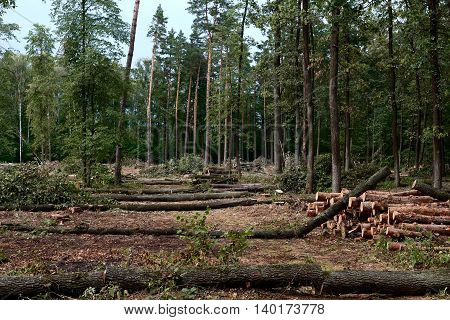 Pine and oak logs, industrial tree felling