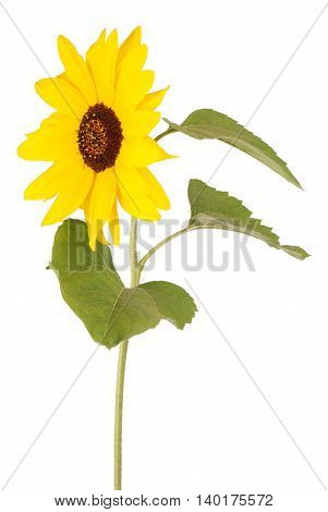 Beautiful sunflower turned to the left isolated on white
