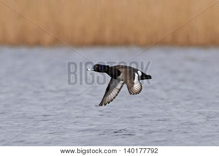 Tufted duck (Aythya fuligula) in flight with water and vegetation in the background