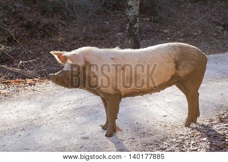 lonely pig in freedom in a forest