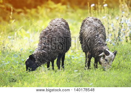 two black curly sheep graze the green grass