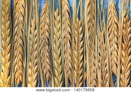 background of rows of ripe yellow ears of wheat on a blue wooden table