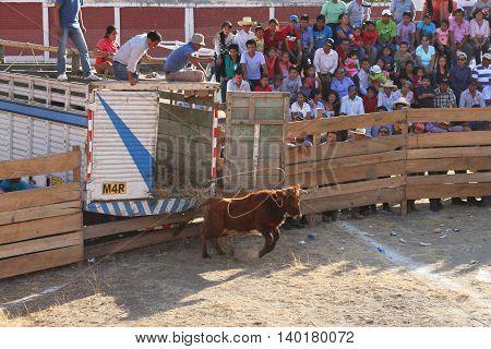 Magdalena Cajamarca Peru - July 23 2016: Young bull jumps from truck into bullring in Magdalena Cajamarca Peru on July 23 2016