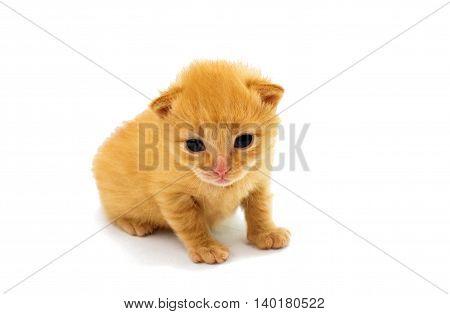 small orange little kittens on white background