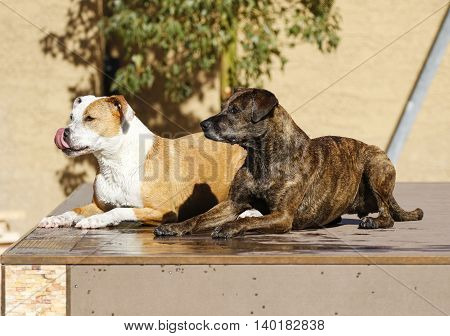 Two dogs sitting on the dock waiting to go into the pool